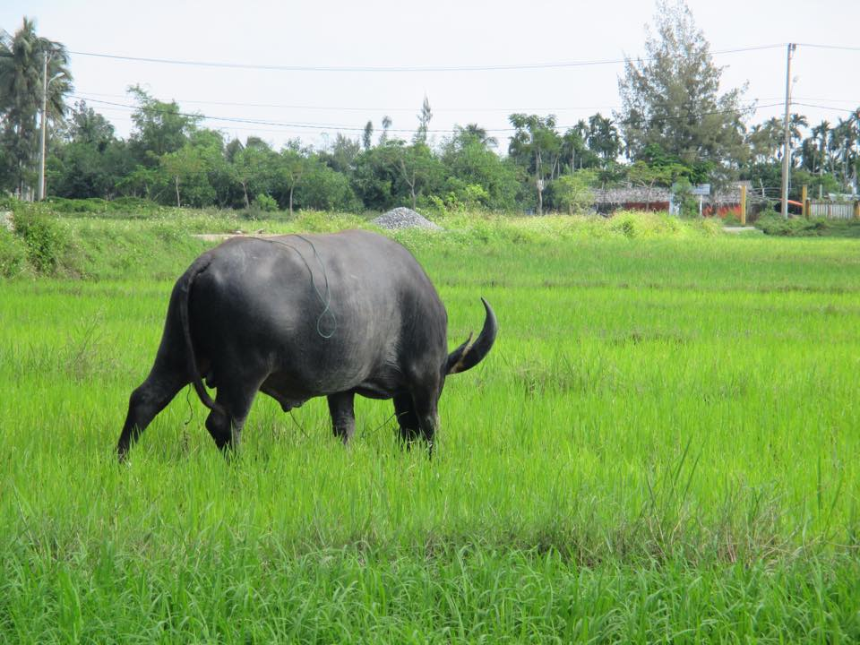 Buffalo of my neighbor